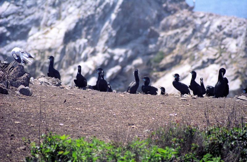 Brandt's Cormorants nesting on Bird Island