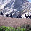 Brandt's Cormorants nesting on Bird Island