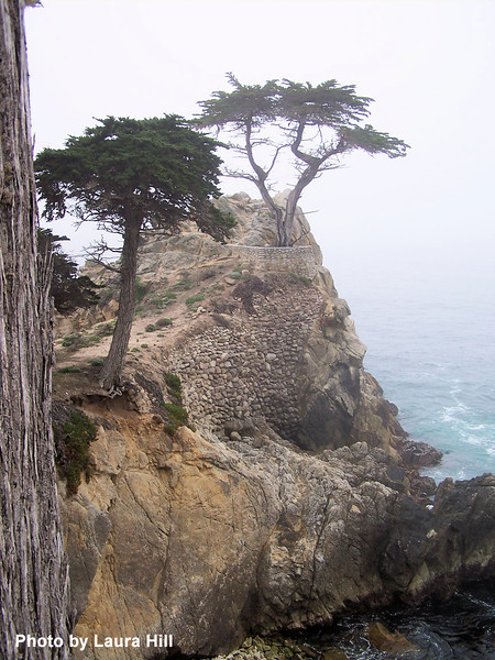 """Monterey Cypress - this is the """"famous"""" tree that appears in the logo for Pebble Beach Resort."""