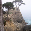 "Monterey Cypress - this is the ""famous"" tree that appears in the logo for Pebble Beach Resort."