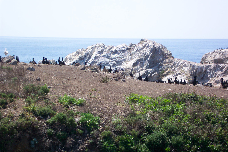The next destination of our Point Lobos hike is called Bird Island, and it houses a huge colony of nesting Brandt's Cormorants.