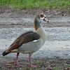 Egyptian Goose hanging out at Animal Kingdom Lodge