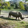 Rhino at Animal Kingdom