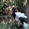 Saddle-billed Stork at Animal Kingdom