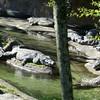 Crocodiles at Animal Kingdom