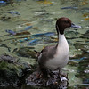 There was a non-exotic Northern Pintail in one of the aviary areas...this is Patti's favorite duck!