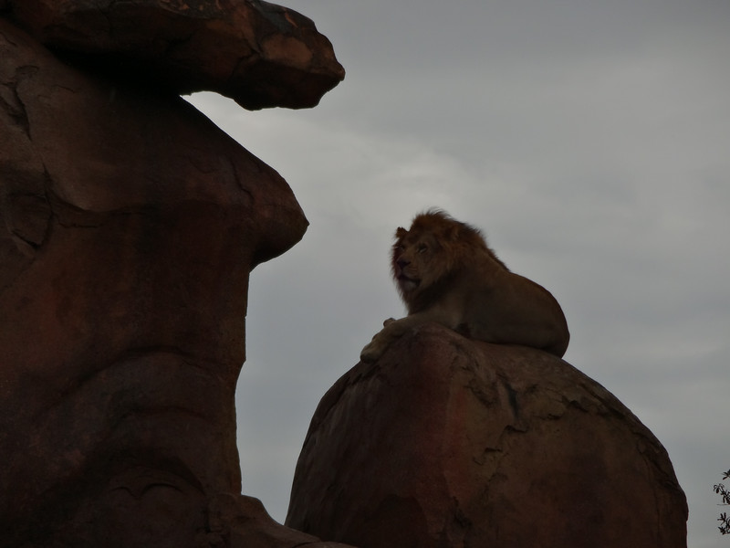 Jeane captured this lion seriously trying to prove that he's king of the beasts.