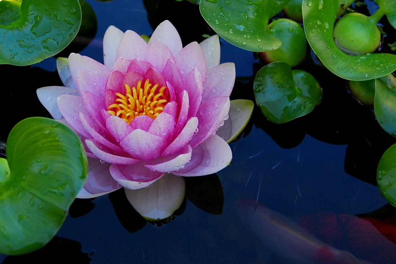 Water lily and fish