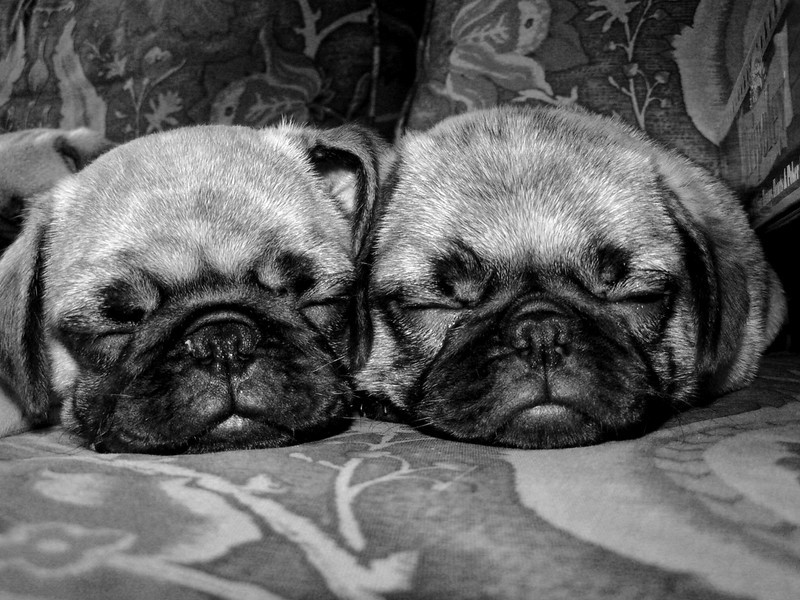 A pair of sleepy pugs