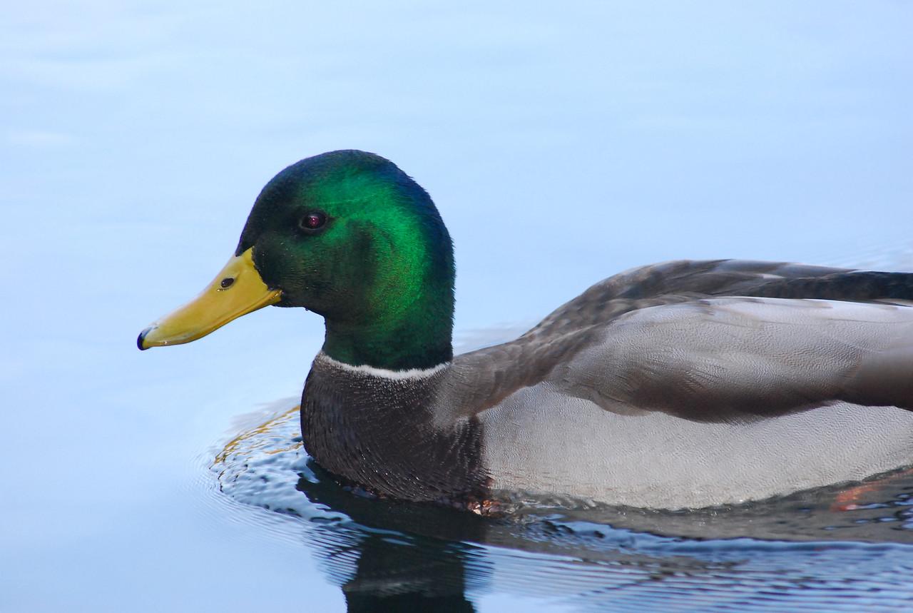 Drake duck