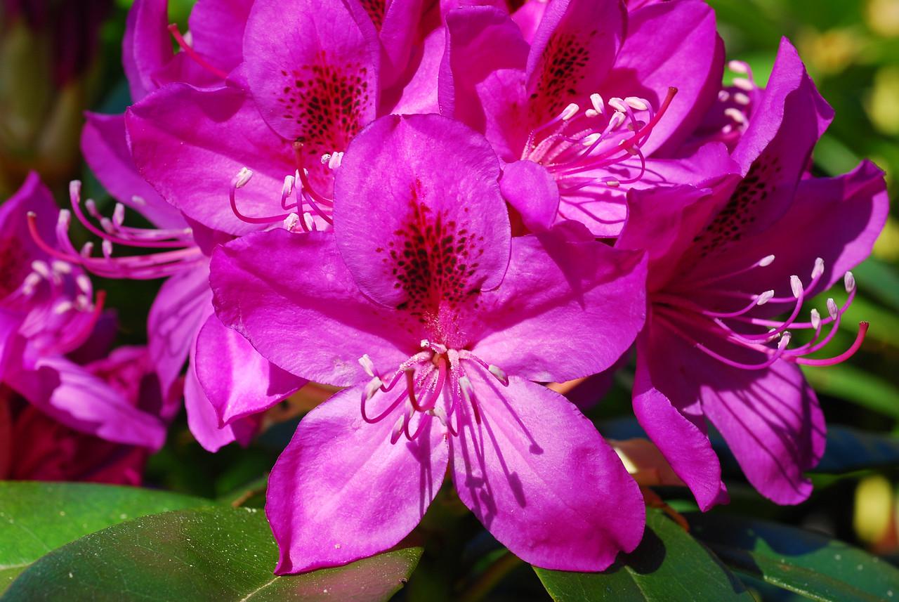 Magenta Rhododendron