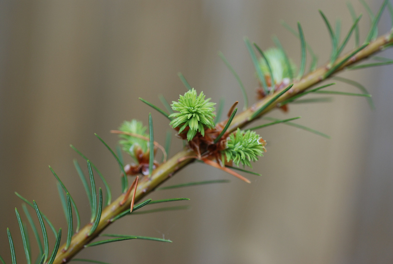 Fir branch close up
