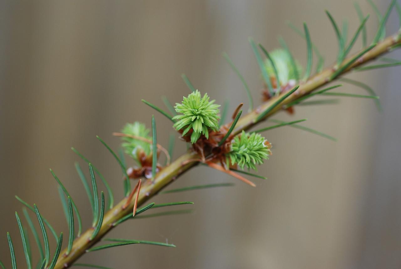 Fir branch close up
