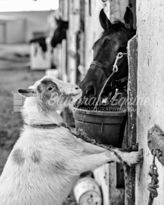 Ziggy the goat caught drinking out of Colton's water at the Thoroughbred Training Center, Lexington, KY. 11.29.18 Photo by Laura Palazzolo