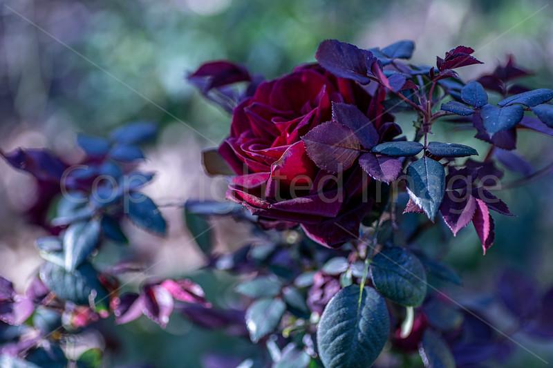 Burgundy Beauty