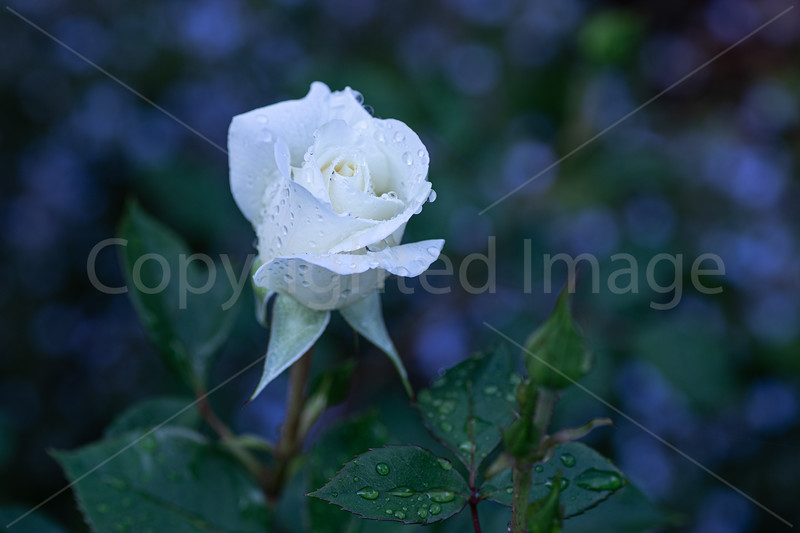 White Bud