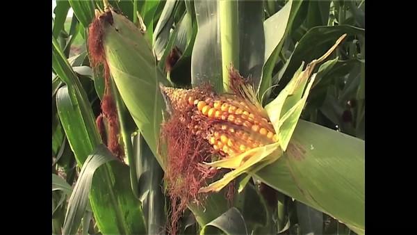 Campos de maíz transgénico en Zaragoza