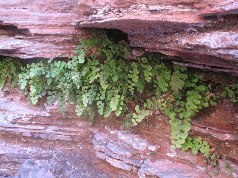Ferns growing in Matkatamiba canyon.
