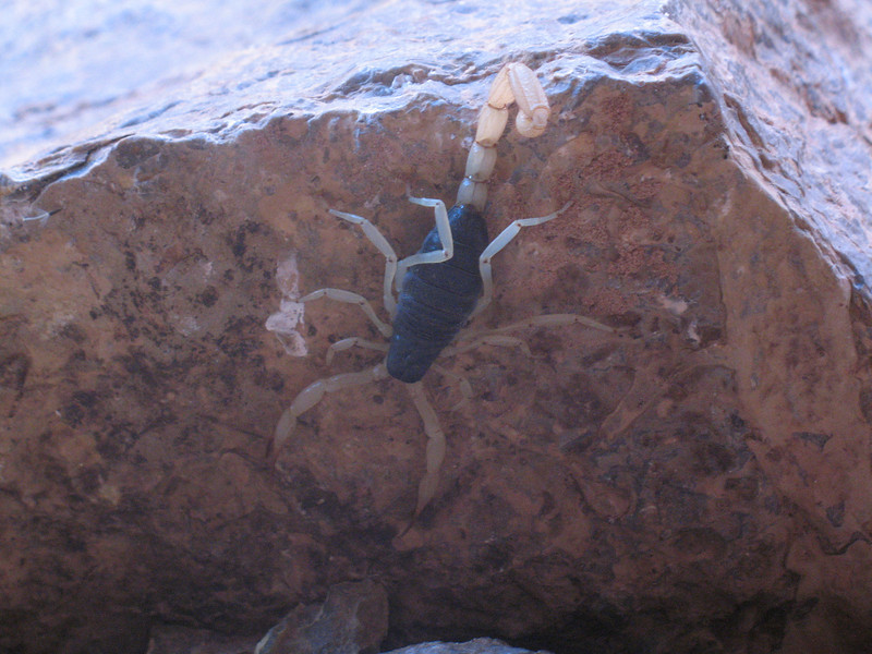 This was one of several scorpions we saw.  In the morning, you have to shake out your clothing and shoes next to your tent, in case scorpions crawled in them during the night.
