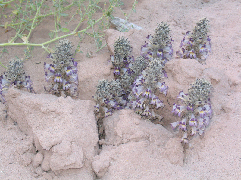 These strange flowers are just bursting from the sand at one of our camps.  Anyone know what they are?