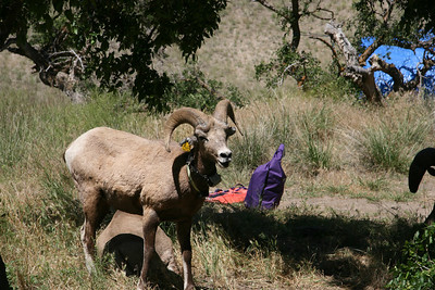 Big horn sheep right in our camp!