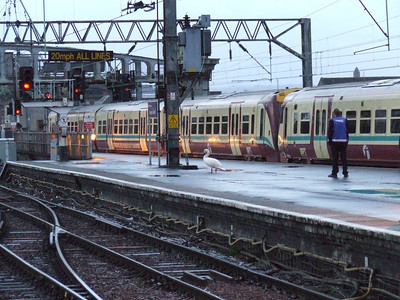 An unusual intruder being escorted from the premises! It's likely to have landed on P11a thinking it was landing on water as the platform was wet, plus the light was still quite low.