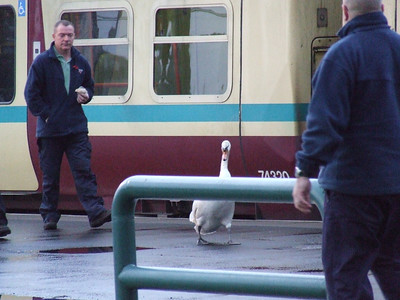 An unusual intruder being escorted from the premises!