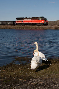 Avian Railfans? A couple of very trusting swans let me take their photograph as Providence & Worcester train NR-2 passes by Stoddard Cove in Ledyard, CT