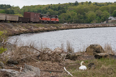 A mother swan sits on her nest as Providence & Worcester train NR-2 passes by in Ledyard, CT