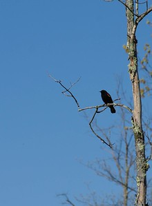 Another Red Winged Blackbird