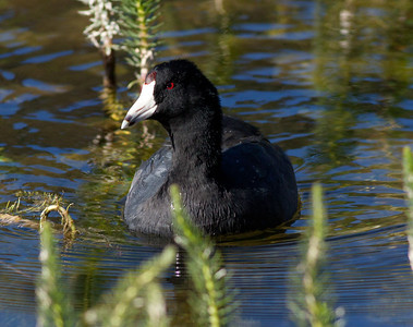 American Coot  Mammoth Lakes  2010 09 20-2.CR2