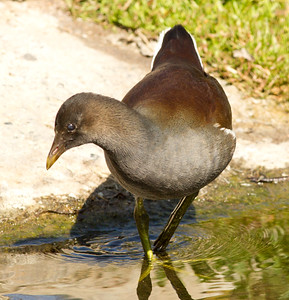 Common Gallinule Newport Beach Back Bay 2012 11 3 (2 of 5).CR2