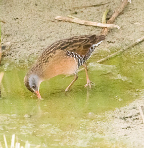 Virginia Rail  San Luis Rey Oceanside 2016 10 29-3-2.CR2