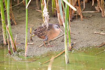 Virginia Rail  San Luis Rey Oceanside 2016 10 29-8.CR2