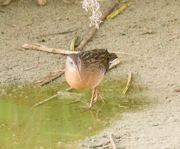 Virginia Rail  San Luis Rey Oceanside 2016 10 29-1-2.CR2