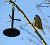 Some of the regulars at Winwick Jct feed the  birds.  Today blue tits were active 14/01/12