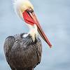 Glamor shot of mature Brown Pelican