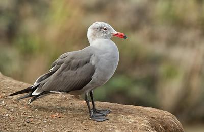 Heermans Gull morphing into breeding plummage