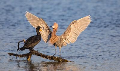 Cormorant vs Reddish Heron encounter
