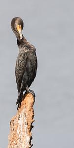 Grooming Cormorant