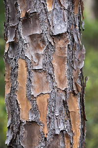 Slash Pine at Corkscrew Reserve