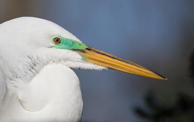Intense breeding plumage