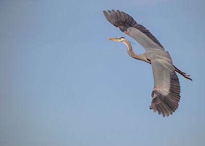 Great Blue Heron coming in to their mate