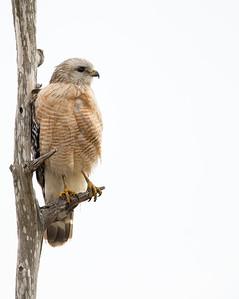 Red Shouldered Hawk posing...