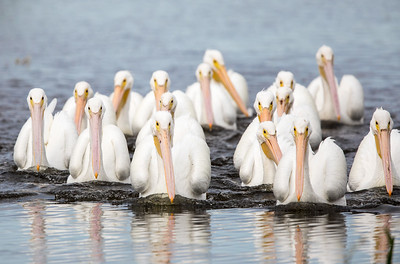 White Pelicans working the pond for schools of fish