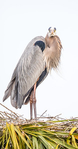 Great Blue Heron on a nest...