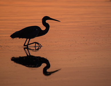 Tri-Colored Heron at Tigertail Tail beach sunset