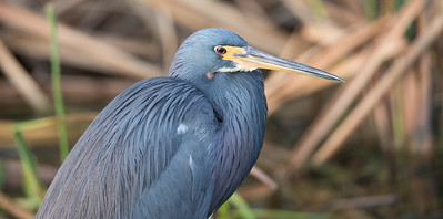 Tri-Colored Heron glamor shot