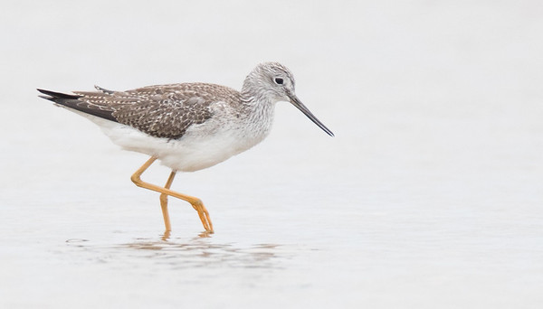 Lesser Yellowlegs shorebird