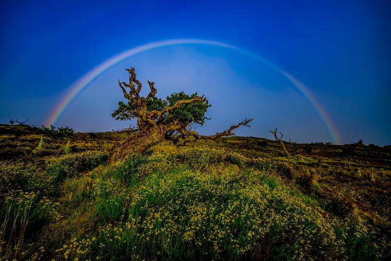 Mauna Kea tree rainbow